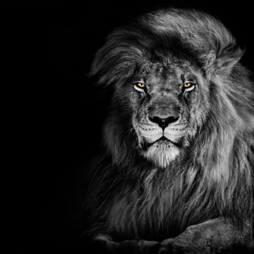 Leeuw Portret 2